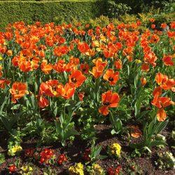 photo of queen wilhelmina tulip garden san francisco ca united states - Tulip Garden Near Me