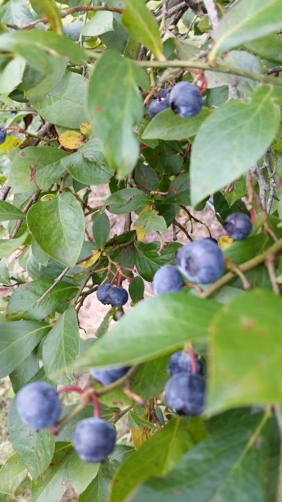 Hillcrest Blueberry Farm: 766 Ferguson Rd, Gloster, LA