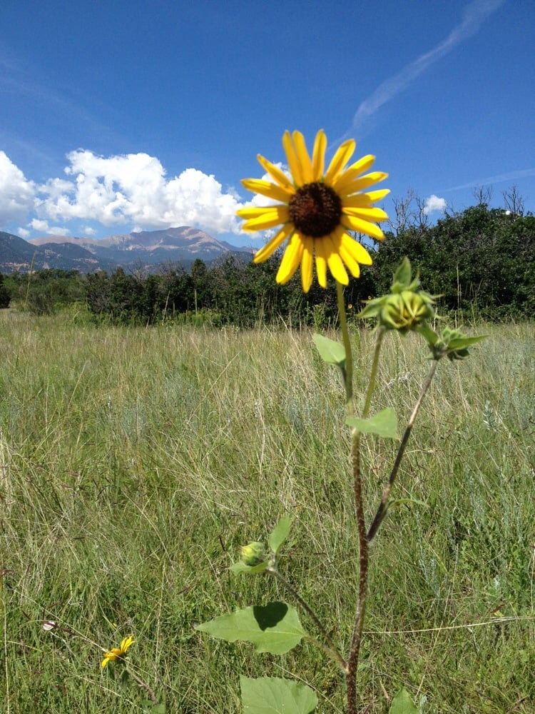 Sunflower in the foreground with Pikes Peak in the background at ...