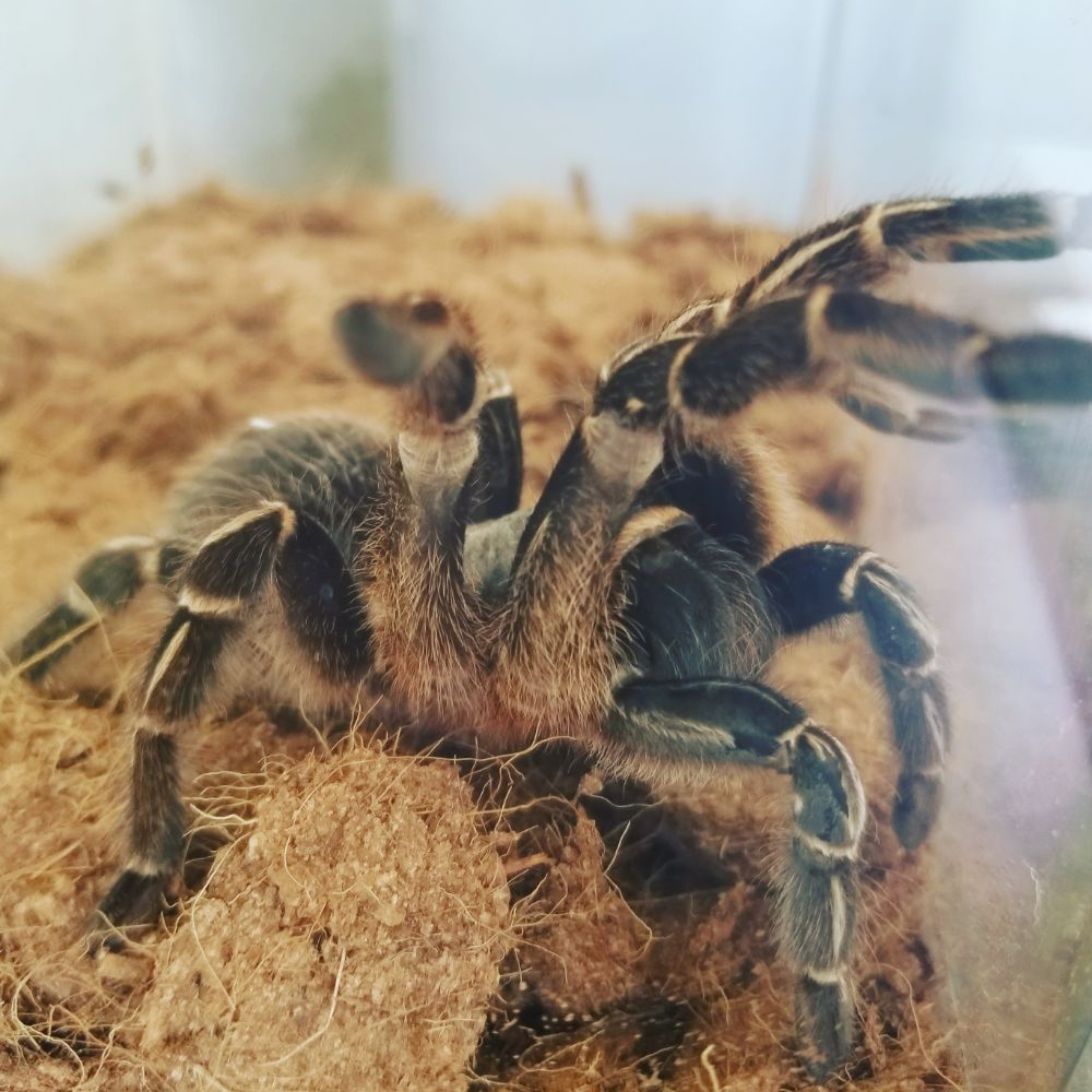 Meet our newest officemate. You can meet our Striped Knee Tarantula ...