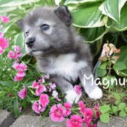 Souththern Minnesota Pomskies - Request a Quote - 10 Photos - Pet