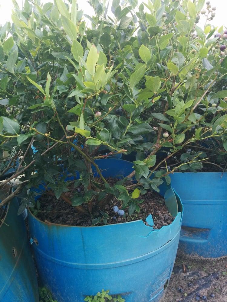 Alpha Growers Blueberry Farm: 5615 W O Griffin Rd, Plant City, FL