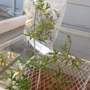 Photo Of Cistus Nursery Portland Or United States Unng Clematis X Cartmanii