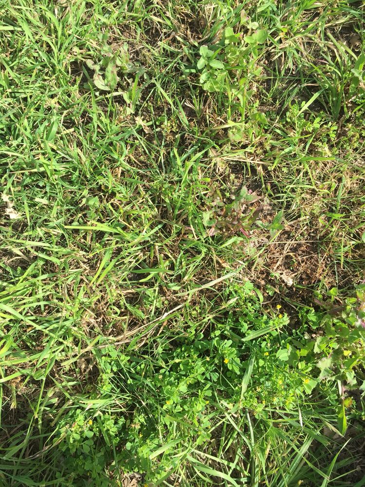 California Buffalograss