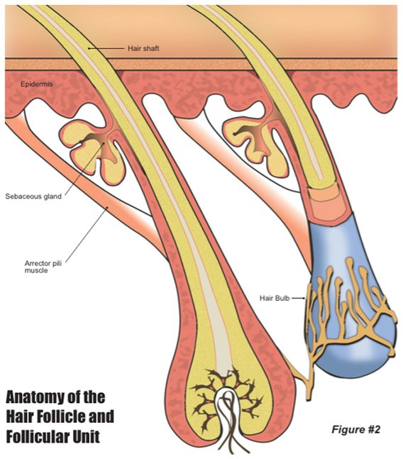 The Anatomy of the Hair Follicle and Follicular Unit. - Yelp