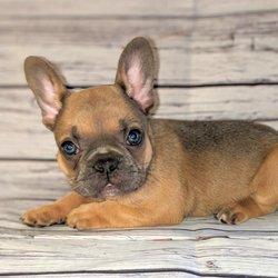 French Bulldog Breeder Anaheim, CA - Last Updated August 2019 - Yelp