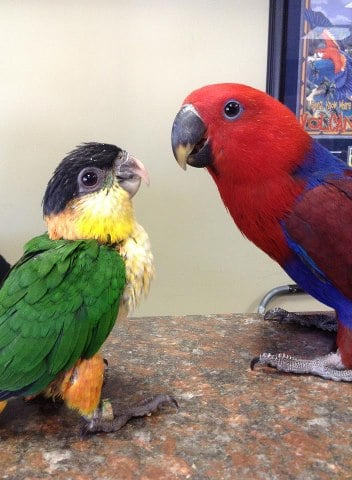 Black Headed Caique And A Female Eclectus Yelp