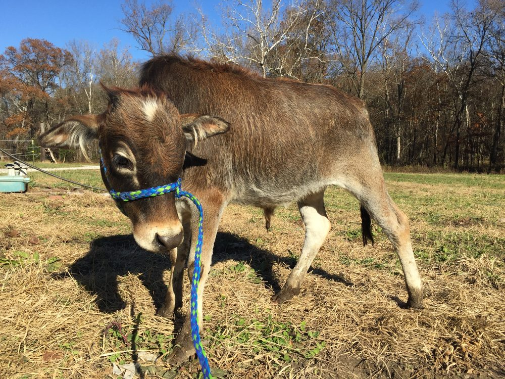 Cowboy Critters Petting Farm and Pony Rides: Ballwin, MO