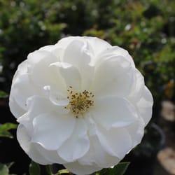 Photo Of Sakaida Nursery Rosemead Ca United States White Iceberg Rose