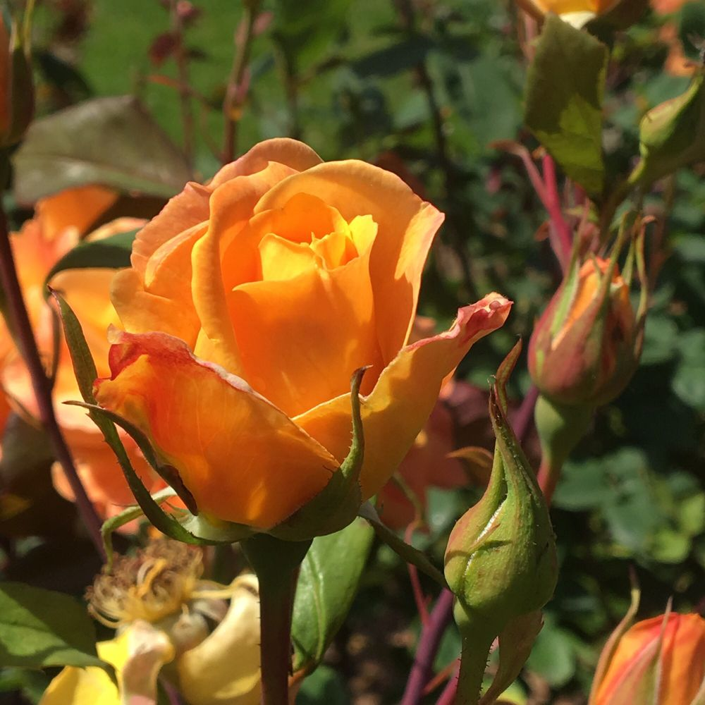 Rose Garden at Woodland Park Zoo: 750 N 50th St, Seattle, WA