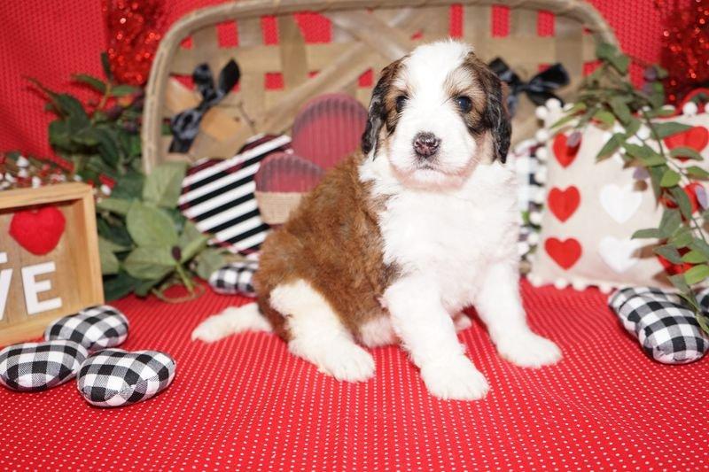 Prairie Hill Puppies: 8112 N Yaggy Rd, Hutchinson, KS