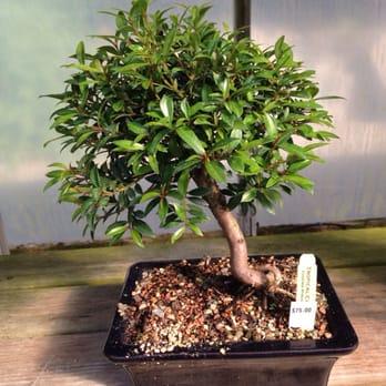 Bonsai Tree Littleton Ma Bonsai Tree