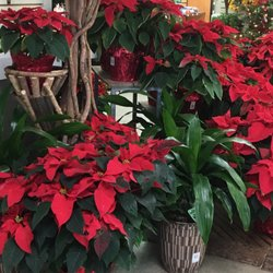 Photo Of Summerwinds Nursery Cupertino Ca United States Poinsettias Everywhere