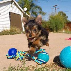 Joe Teacup Puppies Pet Breeders Venice Los Angeles Ca Phone