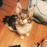 Mainesuspect Maine Coons - 26 Photos - Pet Breeders - East