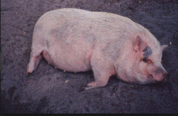 Haoli-Pig T.