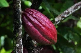 The Cocoa Pod ..
