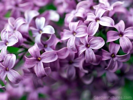 Lilac P.