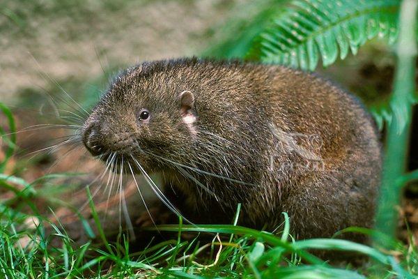 Mountain Beaver ..